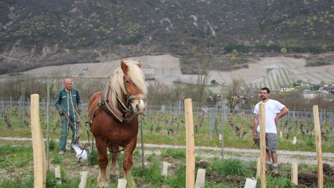 Cheval dans les vignes en Savoie